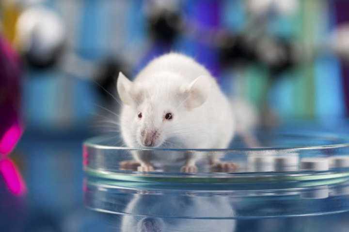 raton_placa_petri.jpg