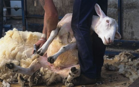 esquilar-ovejas
