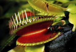 que-es-lo-mas-grande-que-puede-comer-una-planta-carnivora_ampliacion